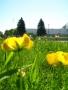 Fiori-gialli-in-primo-piano-nel-prato-di-fronte-a-Paisley-Park-2-copia