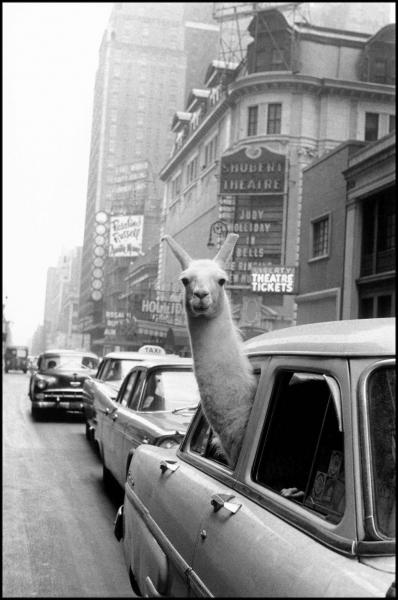 Un lama a Times Square/ A llama in Times Square, New York, 1957 ©Fotohof archiv/Inge Morath Foundation/Magnum Photos
