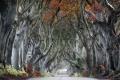 The-dark-hedges,-Armoy-copia