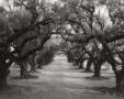 Moon Avenue of oak