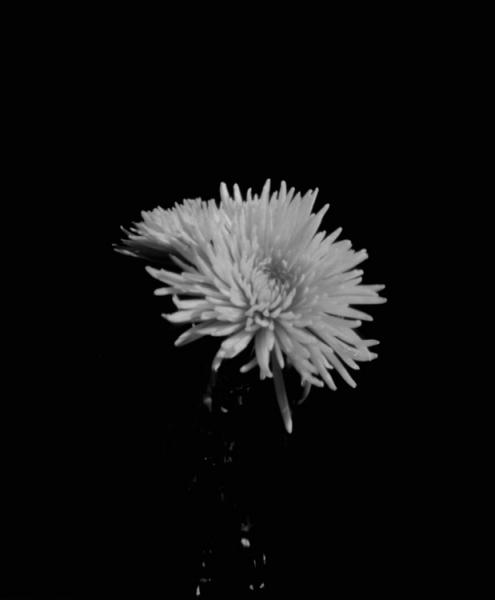 1_crisantemo_2015-copia