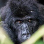 Incontro con l'estinzione. Gli ultimi gorilla di montagna dell'Uganda/Meeting with the extinction. The last mountain gorillas of Uganda